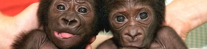 Gorilitas