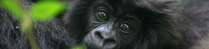 Joven gorila de montaña