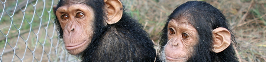 Jóvenes chimpancés