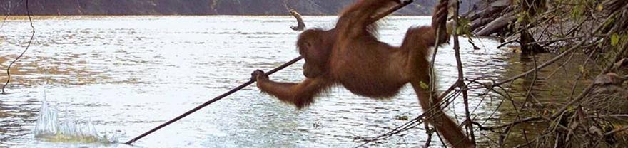 Orangutana pescando