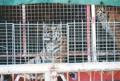 Tigres de circo