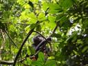 Bonobo1.jpg