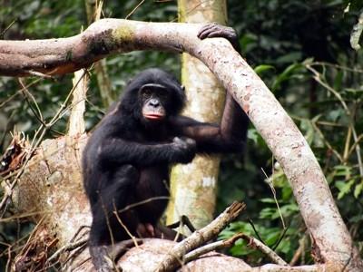 Bonobo3.jpg