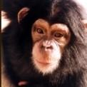 Chimpancex.jpg