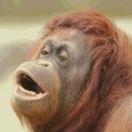 Orangutanx.jpg