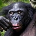 Bonobo hembra