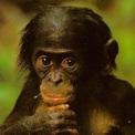 Bonobo joven