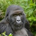 Gorilla beringei hembra
