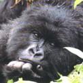 Gorilla beringei joven