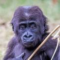 Gorilla gorill joven
