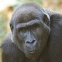 Gorilla gorilla hembra