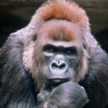 Gorilla gorilla macho