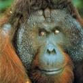 Orangutan de Sumatra (macho)