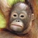 Pongo pigmaeus (bebe)