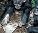 Algunos chimpancés ya están en la Edad de Piedra afirman científicos de 3 continentes