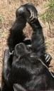 Cada «tribu» de chimpancé tiene su propio saludo