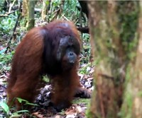 Chasquidos de orangutanes explicarían origen de lenguaje humano