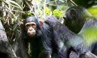Chimpancés enseñando a otros a manejar herramientas