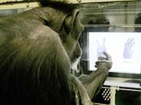 Chimpancés juegan a piedra, papel, tijera como niños de cuatro años