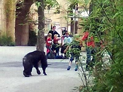 Cinco chimpancés escapan construyendo una rudimentaria escalera.