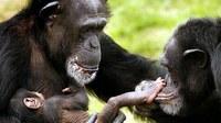 Crimen y castigo entre chimpancés