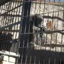 EE.UU. juzga si un mono tiene los mismos derechos que una persona