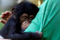 EE.UU. ya no usará chimpancés para investigación médica