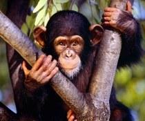 El comercio ilegal amenaza a los grandes simios y otros primates