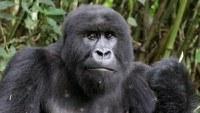 El origen de dos tipos de VIH está en gorilas de Camerún