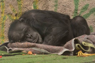 """Una sentencia judicial reconoce a la chimpancél Cecilia como persona, la aplica un """"habeas corpus"""" y será trasladada de Mendoza a Brasil"""