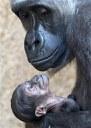 Los simios están en peligro de extinción en África y Asia por explotación