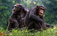 Humanos y chimpancés comparten las mismas leyes del lenguaje de señas