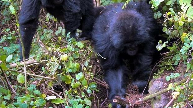 ¡Increíble! Sorprenden a dos gorilas desmantelando trampas