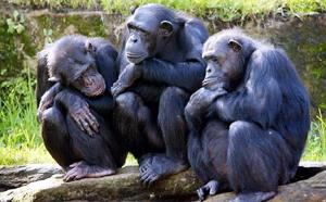 Las cinco personalidades del chimpancé