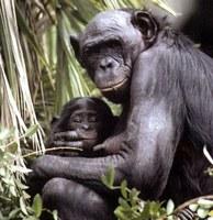 Los bonobos son más similares a los humanos de lo que se cree