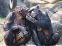 Los chimpancés crean confianza con amigos