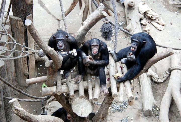 Los chimpancés muestran un sentido de justicia ancestral