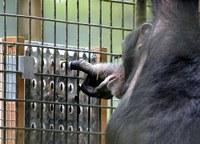 Los chimpancés resuelven rompecabezas por diversión