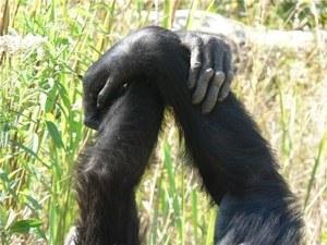Los chimpancés son capaces de crear tradiciones sociales
