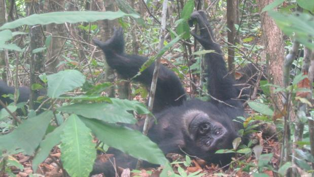 Los chimpancés también tienen una personalidad para toda la vida