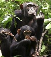 Los chimpancés tienen un sentido de la justicia similar al de los humanos