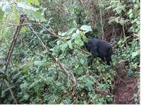 Los gorilas adolescentes saben desmontar trampas