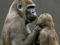 Los gorilas se comunican con sus bebés mediante gestos.