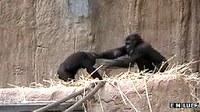 Los gorilas usan gestos para calmar a sus bebés