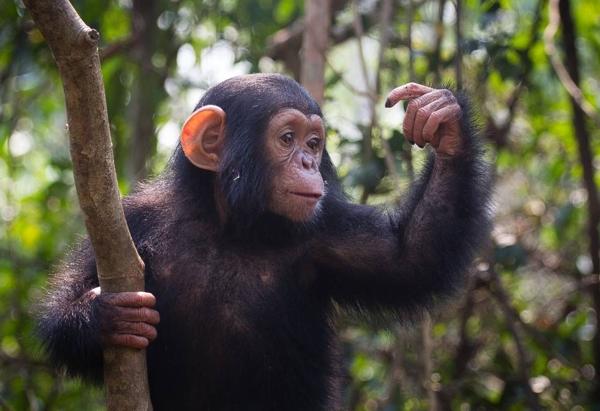 Los grandes simios pueden adivinar lo que estás pensando