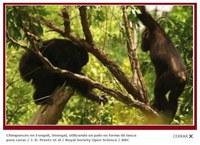 Nuevos datos sobre los chimpancés que han aprendido a cazar con lanzas