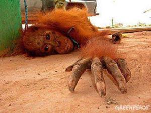 Prostitución y abusos sexuales con orangutanes