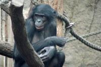 Secuenciado el genoma del bonobo, nuestro pariente más sociable