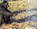 Un bonobo fabrica y usa herramientas como las de los primeros humanos