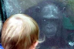 Un chimpancé ayuda a hablar, por primera vez, a un niño autista.